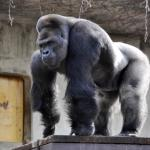 Women Flocking To Japan To See 'Hunky' Gorilla In Zoo
