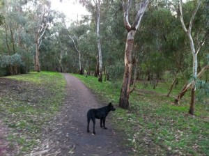 writer's dog Milly out on walk