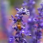bee on lavender flowers