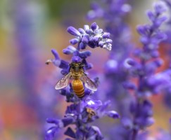 bee on lavender, still to come in the new garden