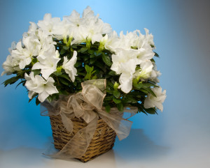 smell evokes memory with white azaleas