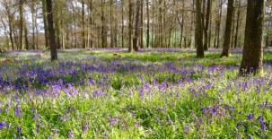 Enjoy bluebells while waiting for tour guide