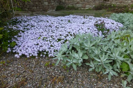 Spring carpet of lilac alpine phlox