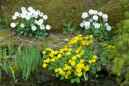 late spring for marsh marigolds and candelabra primulas