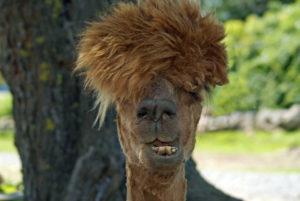 alpaca having a bad hair day