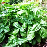 basil herb in profusion