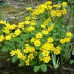 marsh marigolds in flower in spring
