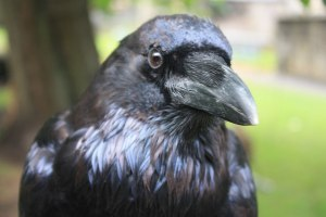 Head of a Raven closeup by Stephencdickson