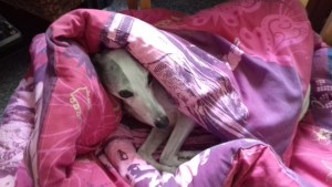 Sarah Mallory's dog Willow resting in his duvet
