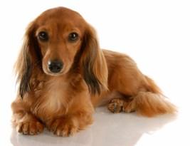 Liz Fielding's new book began with Dora, the dachshund