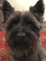 Jane Godman's Cairn terrier, Gravy