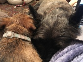 Terriers snuggled up together, asleep