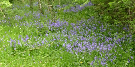 mist of bluebells among trees