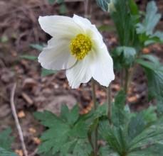 snowdrop anemone flower