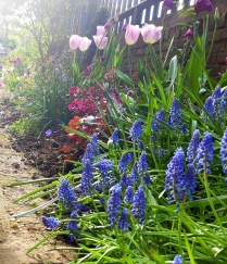 grape hyacinths and tulips in new garden