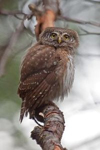 Writing Energy, Eurasian pygmy owl