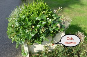 Swanwick planter with strawberries