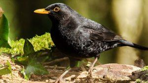 blackbird, Dawn Chorus