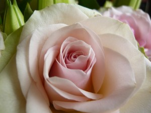 blush pink rose to celebrate thirty books