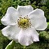 Cherokee rose, state flower of Georgia