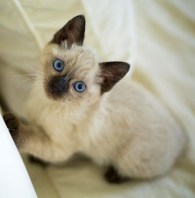 Siamese kitten, one of animals in books