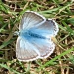 blue butterfly in the wild