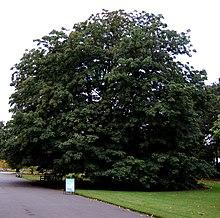 Indian Horse chestnut