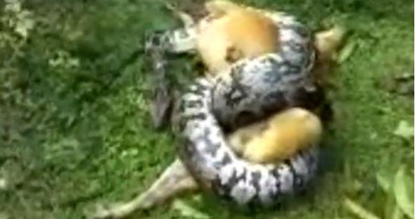 pythoncoils