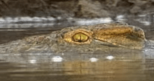 Killer Crocodile Hunts The Hunter
