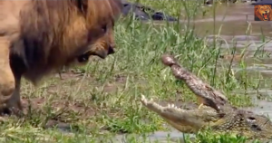 VIDEO: The Two Mosts Ferocious Serengeti Predators Meet Head On! Who Dominates?