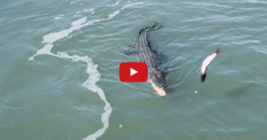 Tourist Feed Croc… It's What Surfaces Next That Made The Vid Go Viral