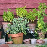 Live Plants - 20 Ways to Use Medicinal Herbs
