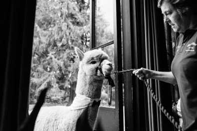 Alpaca enters the ceremony at the Larmertree gardens in Wiltshire