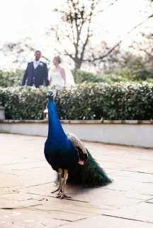 Larmertree wedding Peacock photobomb