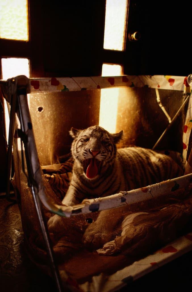Szibériai tigriskölyök babaágyban, Arkansas, 1997.