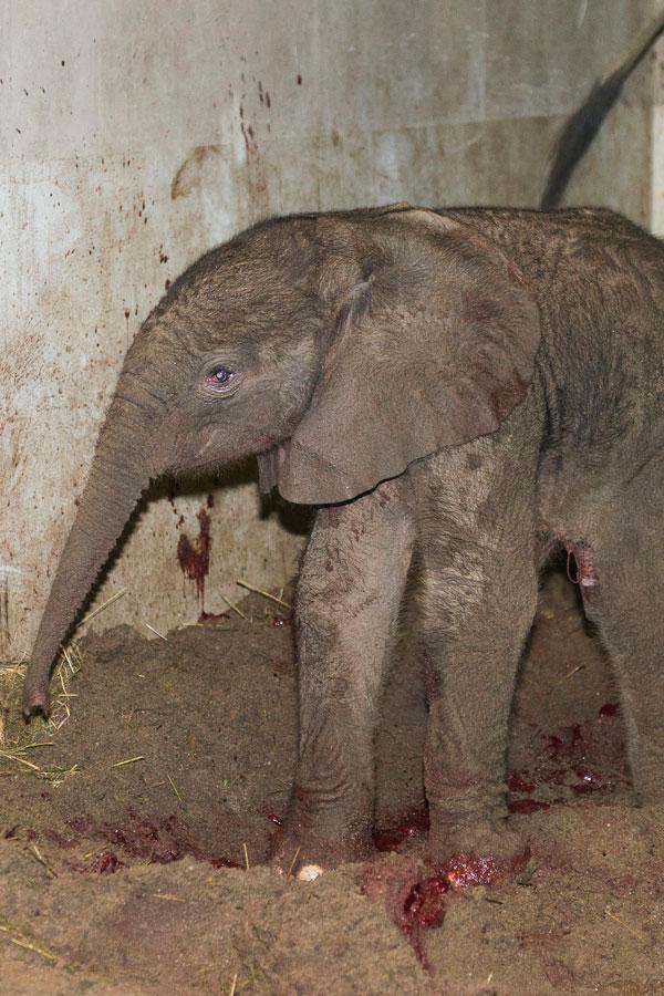 afrikai elefántborjú