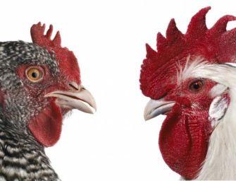 A csirketenyésztés mint művészet?