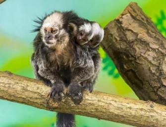A világ legkisebb majmait láthatod mostantól Szegeden!