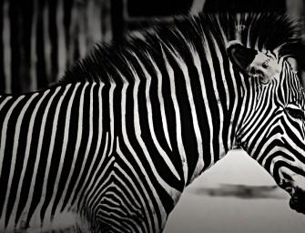 Az öngyilkosság különösen fájdalmas módját választotta egy zebra