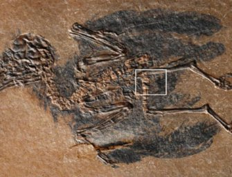 48 millió éves fartőmirigyzsírt találtak