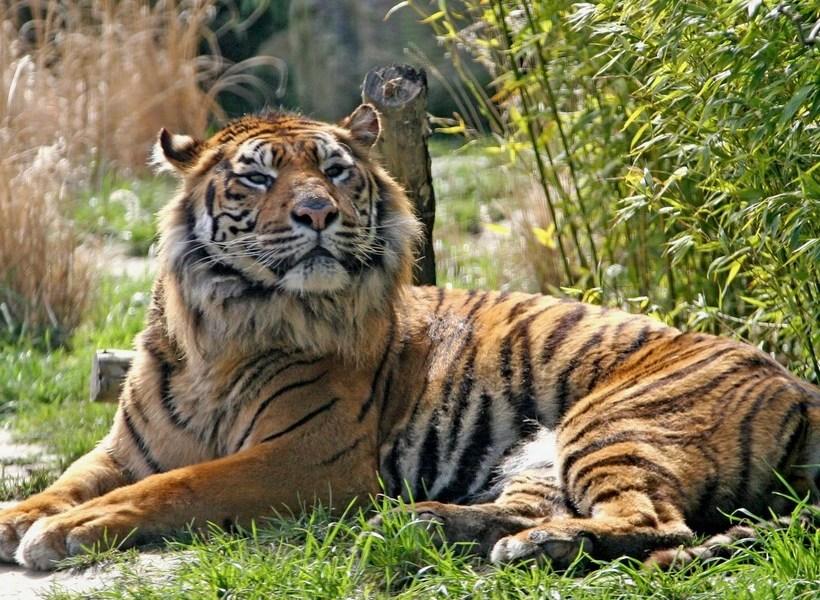 Rejtélyes, hogy kaphatták el a szumátrai tigrisek a koronavírust