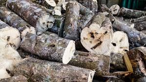 pile of logs of agarwood
