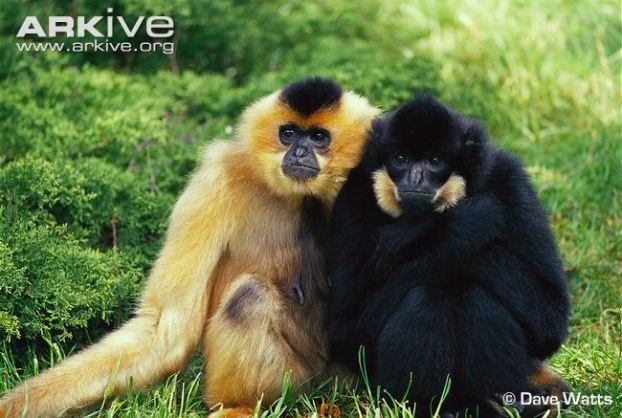Male-and-female-buff-cheeked-gibbons