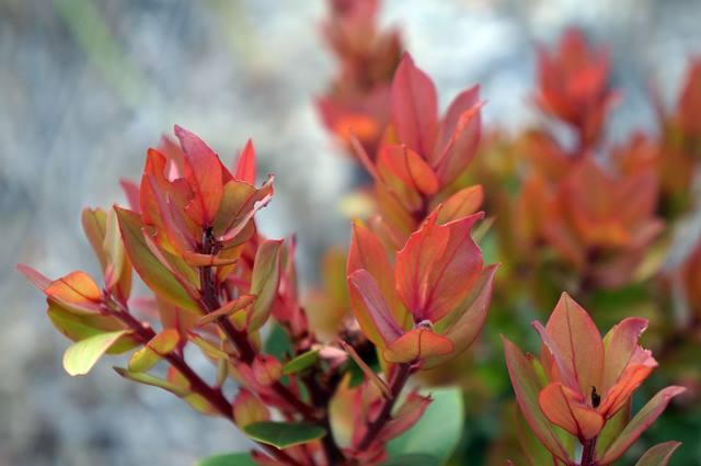 Tumbuhan Cantigi bisa dimakan dan dimanfaatkan untuk bertahan hidup ketika di gunung.