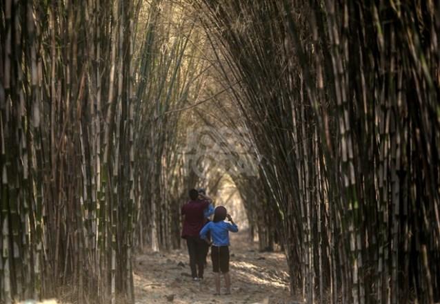 Hutan Bambu Keputih, Surabaya (sumber)