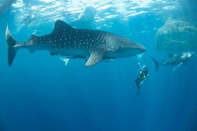 Diving in Cenderawasih Bay, meeting whale sharks