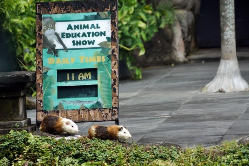 kelucuan para hewan di Animal Education Show Bali Safari & Marine Park