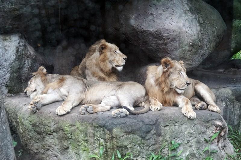 Para singa muda yang sedang bersantai