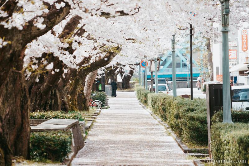 Mau ikut open trip Jepang spring 2018 atau private trip Jepang untuk menikmati Bunga Sakura bermekaran