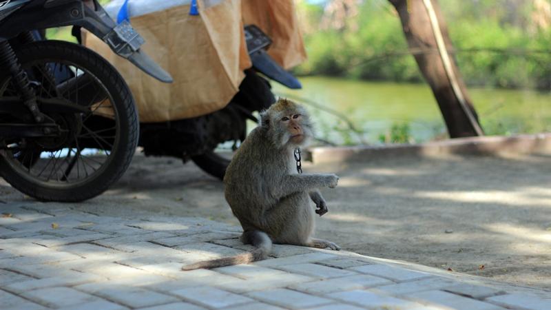 Monyet liar yang sudah tidak asing dengan kehadiran manusia
